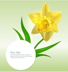 background with Narcissus flower vector image vector image