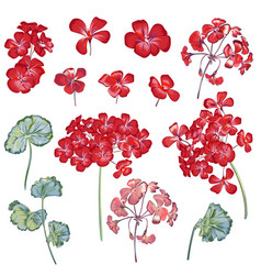 collection geranium flowers for design in red vector image