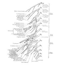 Lumbar and sacral nerve plexuses vintage vector