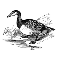 Barnacle goose vintage engraving vector