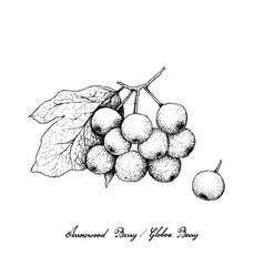 Hand drawn arrowwood berries or globose berries vector