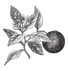 Sweet orange vintage engraving vector