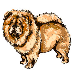 dog breed chow-chow vector image