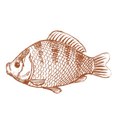 crucian freshwater fish vector image