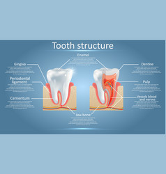 Dental anatomy and tooth structure diagram vector