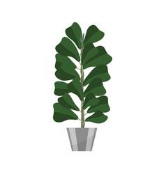 Ficus deciduous plant in flowerpot house plant vector