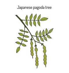 Japanese pagoda tree styphnolobium japonicum or vector