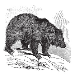 Bear vintage engraving vector image