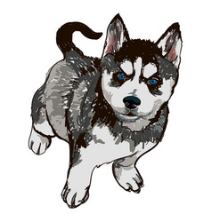 dog breed breed husky vector image vector image