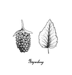 hand drawn of fresh boysenberry on white backgroun vector image
