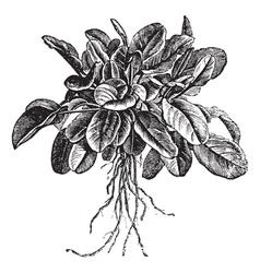 Common sorrel vintage engraving vector