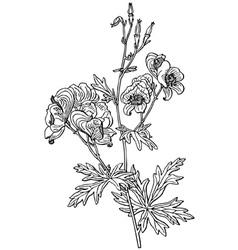 plant aconitum variegatum vector image