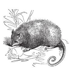 possum vintage engraving vector image vector image