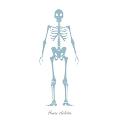Human Skeleton Isolated on White Human Body vector