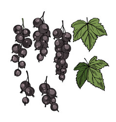 Hand drawn berry currant on white background vector