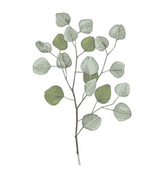 hand drawn eucalyptys branch vector image
