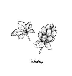 Hand drawn of fresh cloudberry on white background vector