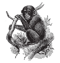 Young chimpanzee in tree vintage vector
