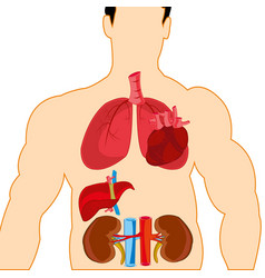 Drawing internal organ in tele person vector