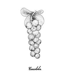 Hand drawn of coccoloba uvifera or seagrape fruits vector