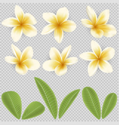 white and yellow plumeria flower vector image