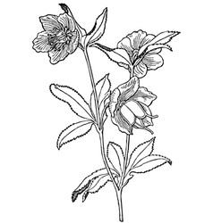 plant helleborus viridis vector image