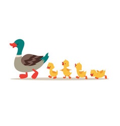 mother duck and ducklings cute baducks walking vector image
