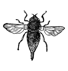 bot flies vintage engraving vector image