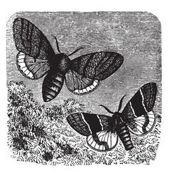 Orgyia pudibunda vintage vector