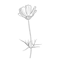 Drawing flower of cosmos vector