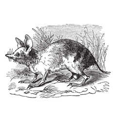Barred Bandicoot vintage engraving vector image
