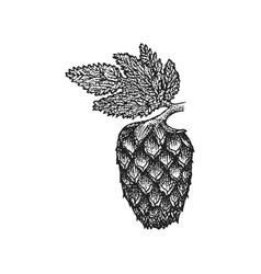 engraving hops cone vector image