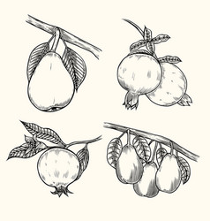 pear and pomegranate vector image