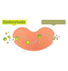 Endocytosis and exocytosis diagram vector