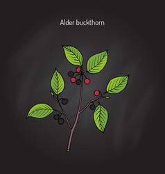 Alder buckthorn medicinal plant vector