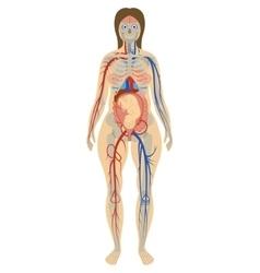 Anatomy a pregnant woman vector
