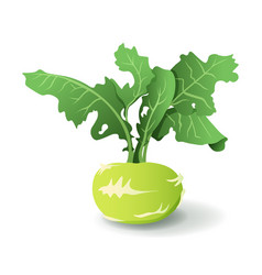 kale turnip with leaves isolated on white vector image