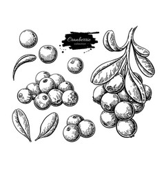 Cranberry drawing isolated berry branch vector