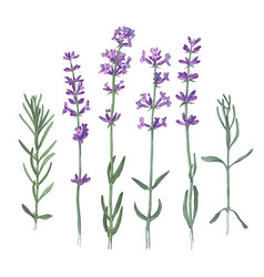 Hand drawn lavender flowers and branches vector
