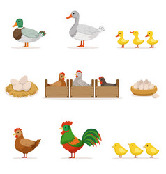 Farm birds grown for meat and for laying eggs vector