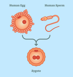 what is zygote - diagram vector image vector image