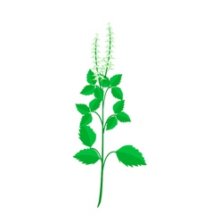 A Fresh Holy Basil Plant on White Background vector image