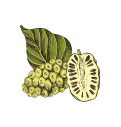 Hand drawn noni fruit vector