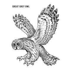 great grey owl wild forest bird of prey hand vector image