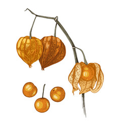 hand drawn physalis plant isolated on white vector image