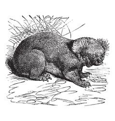 Koala vintage engraving vector image