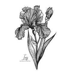 engraved of iris isolated on white vector image