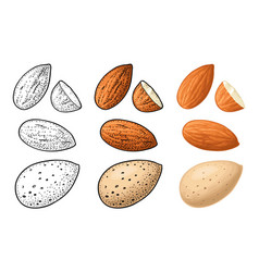 Two whole almonds nuts without shell color vector