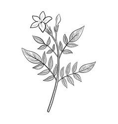 Drawing jasmine vector