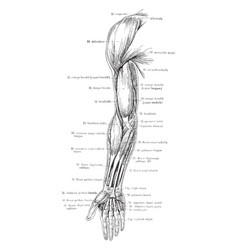 Front view of the superficial muscles of the arm vector